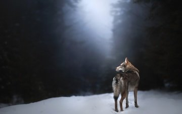 снег, собака, волк, alicja zmysłowska, чехословацкая волчья, чехословацкий влчак, misty morning