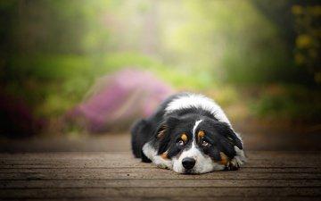 глаза, мордочка, взгляд, собака, доски, отдых, dackelpuppy, blake