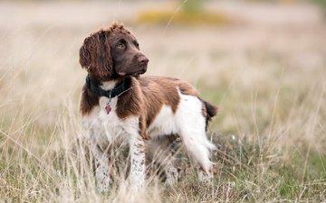 взгляд, собака, друг, ошейник, спаниель, ирландский сеттер, andy aveyard