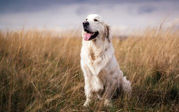 look, dog, each, language, golden retriever