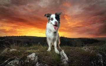sunset, dog, each, language, the border collie, yaz, lyni, viktor valter