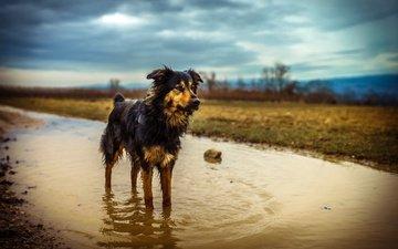 природа, собака, лужа, мокрая, эмма, австралийская овчарка, chris talentfrei