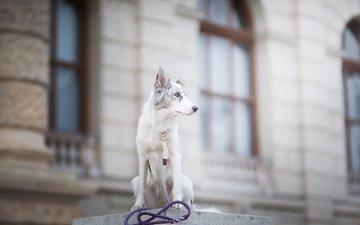 собака, пятна, боке, поводок, бордер-колли, alicja zmysłowska, witty&white