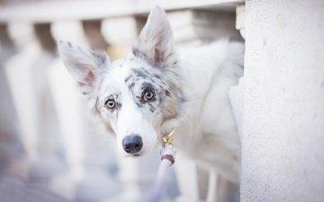 собака, пятна, боке, бордер-колли, alicja zmysłowska, witty&white
