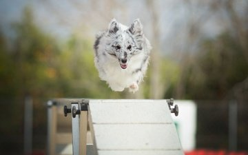 собака, прыжок, alicja zmysłowska, барьер