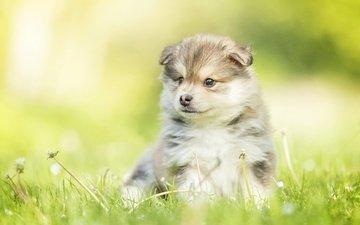 собака, щенок, одуванчики, малыш, боке, финский лаппхунд