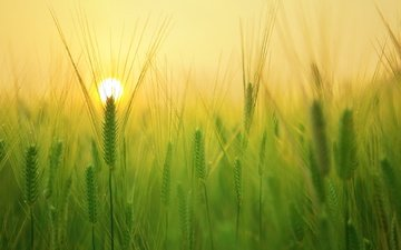 солнце, природа, фон, поле, колосья, пшеница