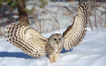 сова, снег, зима, крылья