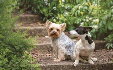 ступеньки, пара, собаки, мыльные пузыри, йоркширский терьер