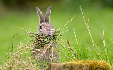 трава, природа, фон, кролик, заяц, nesting rabbit