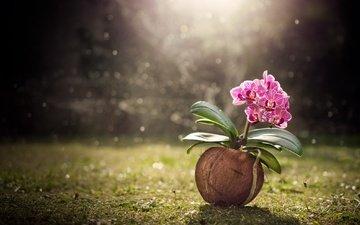 трава, природа, цветок, орхидея, кокос