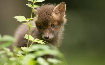 трава, природа, лиса, лисица, животное, лисенок