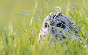 eyes, grass, owl, nature, look, bird