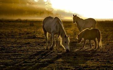 утро, туман, поле, лошади, кони