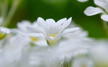 цветы, весна, боке, белый цветок