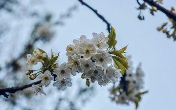 ветка, дерево, цветение, весна, вишня