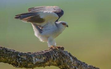 ветка, крылья, птица, клюв, коршун, черноплечий дымчатый коршун