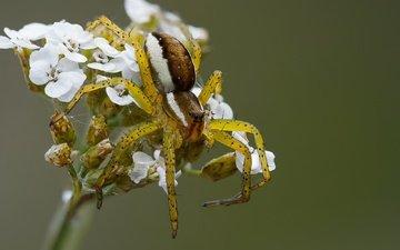 ветка, природа, насекомое, фон, паук, цветки, охотник каёмчатый