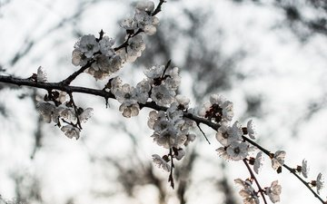 branch, nature, tree, flowering, background, spring, blooms