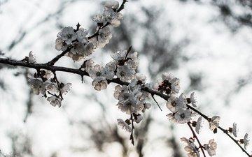 ветка, природа, дерево, цветение, фон, весна, цветёт