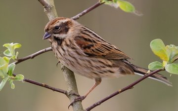 branch, nature, sheet, bird, beak, tail, reed bunting