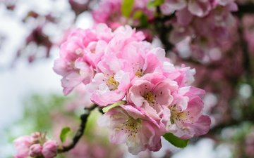 ветка, цветение, весна, розовые, сакура