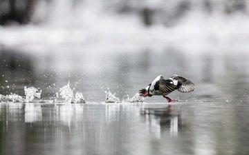 water, squirt, bird, running, duck