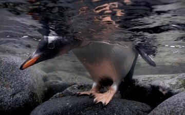 вода, камни, лапы, птица, пингвин, голова