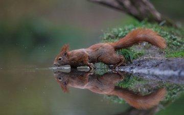 вода, отражение, рыжая, белка