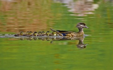 water, nature, birds, ducklings, duck, wood duck