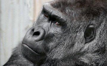 глаза, морда, взгляд, обезьяна, горилла