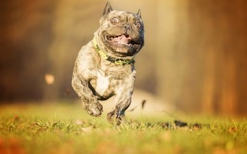 eyes, face, look, dog, running, french bulldog