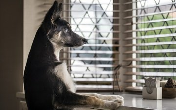 взгляд, собака, дом, окно, немецкая овчарка