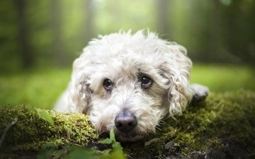 взгляд, собака, мох, мордашка, пудель