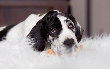 взгляд, собака, щенок, мордашка, немецкий дог