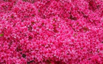 цветы, азалия, рододендрон, jazzmatica