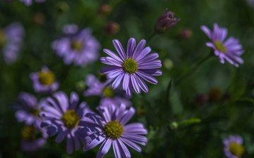 цветы, лепестки, размытость, астры, татарская астра, jazzmatica