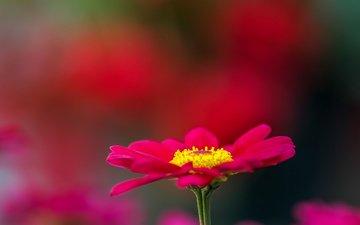 цветок, лепестки, размытость, маргаритка, jazzmatica