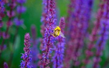 цветы, насекомое, пчела, шалфей, jazzmatica