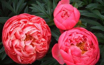 цветы, лепестки, пионы