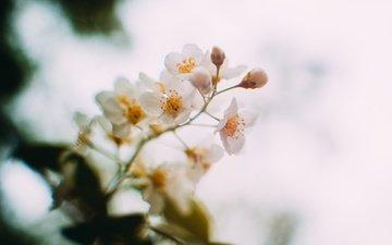 цветы, цветение, весна, черемуха