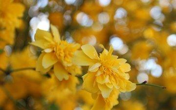 цветы, желтый, макро, весна, куст, жёлтая, керрия