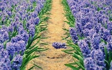 цветы, дорожка, весна, клумба, гиацинт, гиацинты