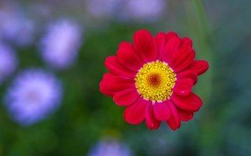 природа, фон, цветок, лепестки, хризантема, jazzmatica