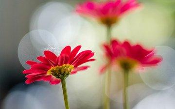 цветы, лепестки, маргаритки, jazzmatica