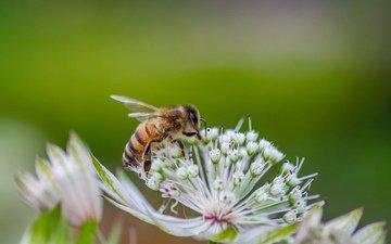 цветы, природа, насекомое, фон, пчела, jazzmatica