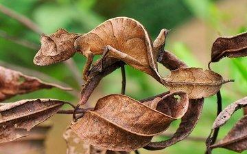 ящерица, геккон, маскировка, сухие листья, листохвостый геккон