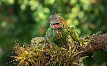 ящерица, зеленая, игуана
