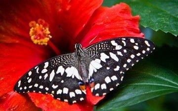 насекомое, цветок, бабочка, крылья, гибискус