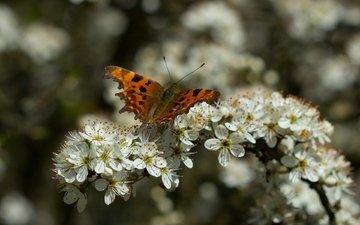 ветка, цветение, насекомое, бабочка, крылья, весна